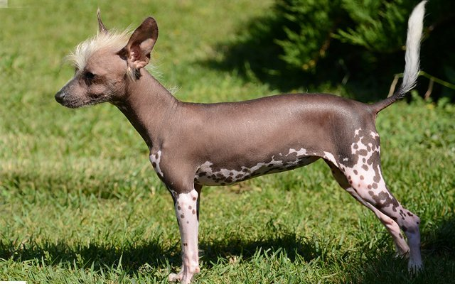 chinese crested plate