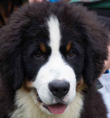bernese mountain dog black&tan image