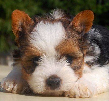 biewer yorkie black&tan puppy image