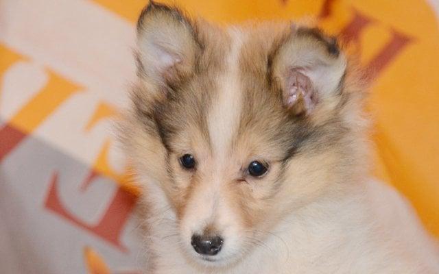 shetland sheepdog sable puppy image