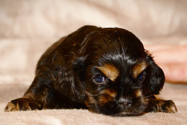 american cocker spaniel black&tan puppy image