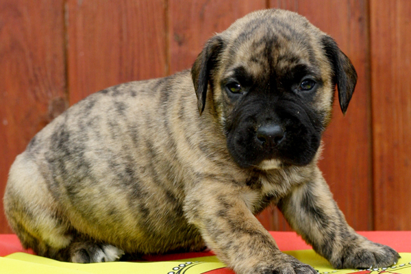 Presa Canario Breed | Dog Breed information & Pictures