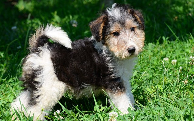 fox terrier tri-color puppy image