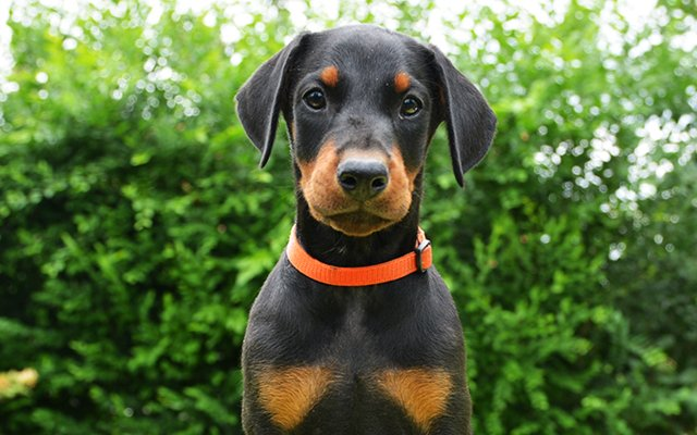 doberman black&tan image