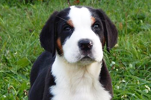 greater swiss mountain dog black and tan puppy image