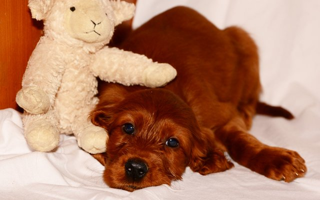 irish setter red puppy image