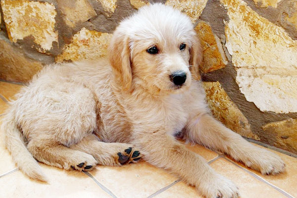 labradoodle gold image