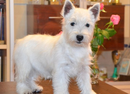 Información de Perros de la Raza West Highland White Terrier