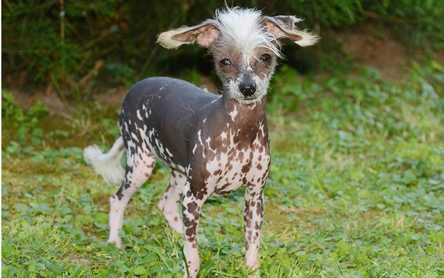 chinese crested plate image
