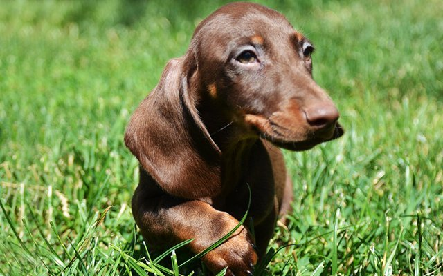 dachshund chocolate & tan image