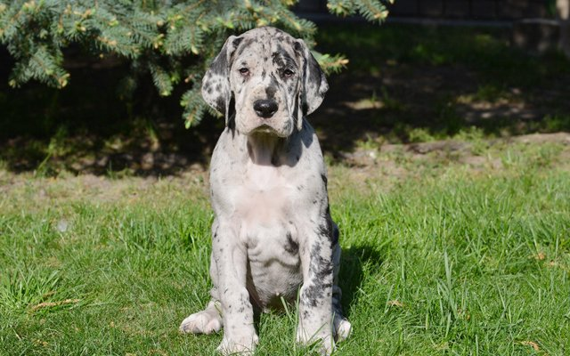 great dane merle puppy