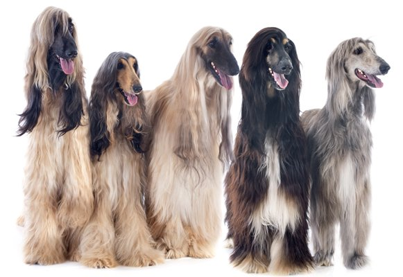 afghan hound cream bindle black masked red image