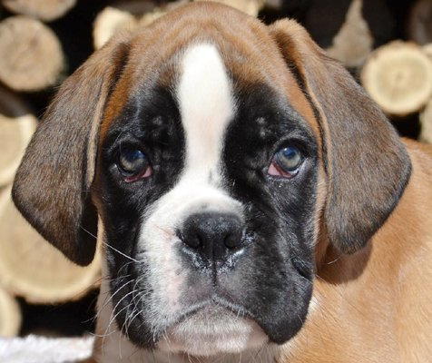 boxer fawn image
