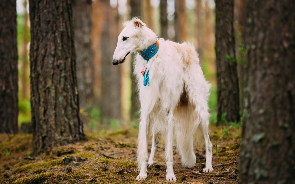 borzoi white picture