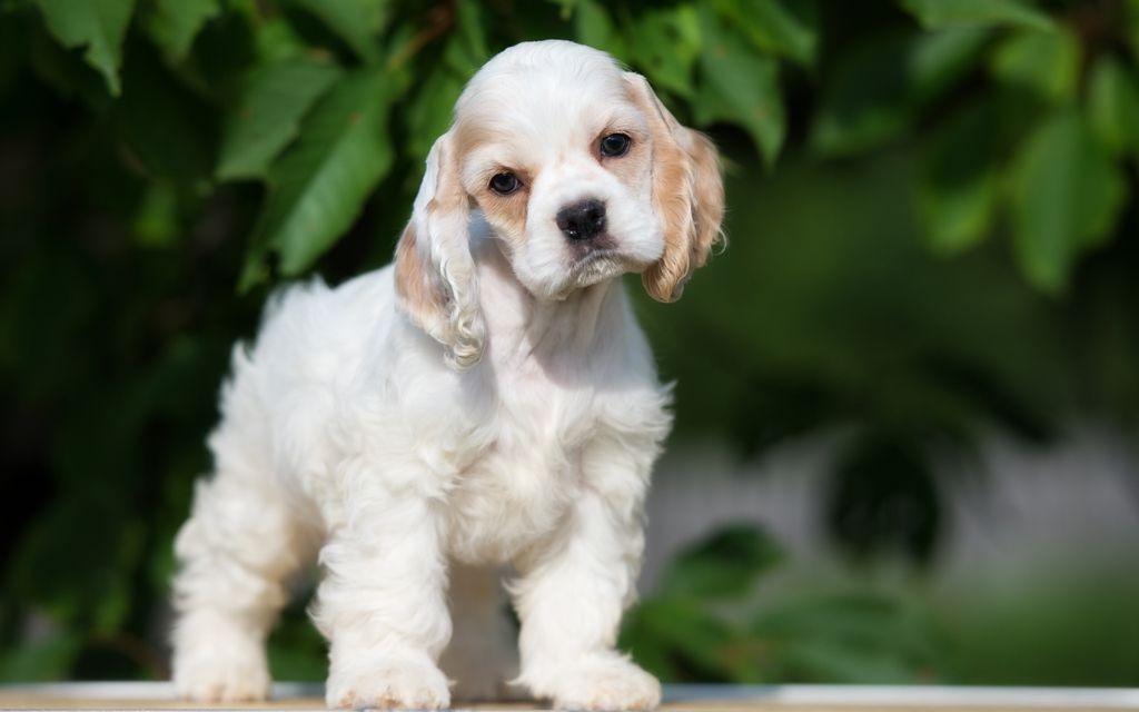 american cocker spaniel red&white puppy picture