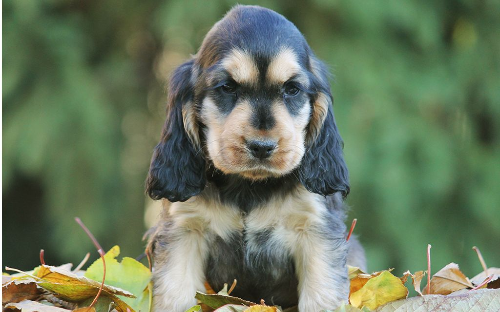 english cocker spaniel black&tan puppy picture