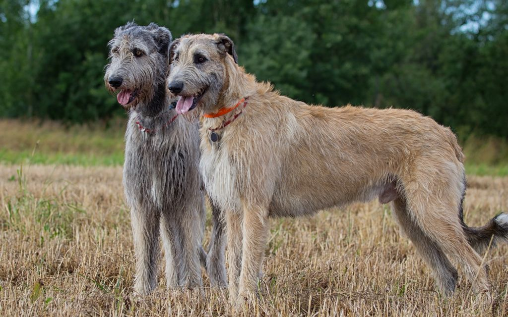 irish wolfhound fawn gray picture