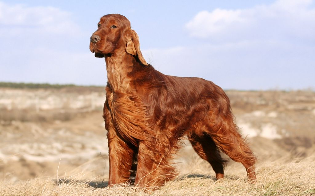 irish setter red picture