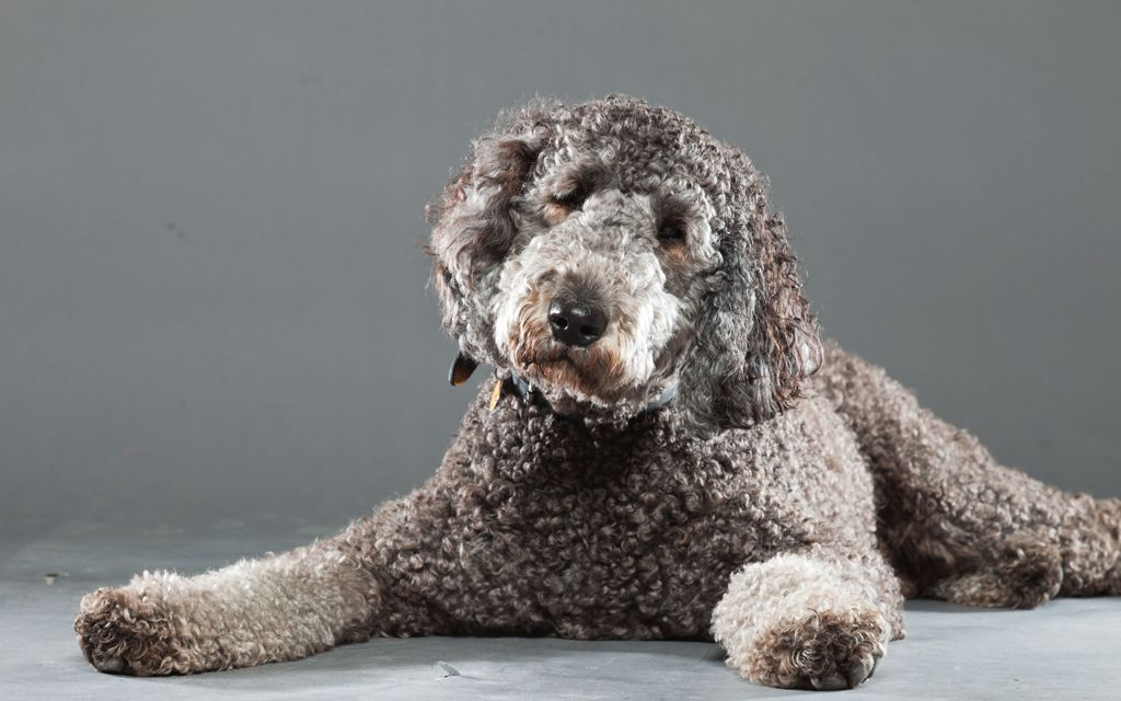 labradoodle chocolate picture