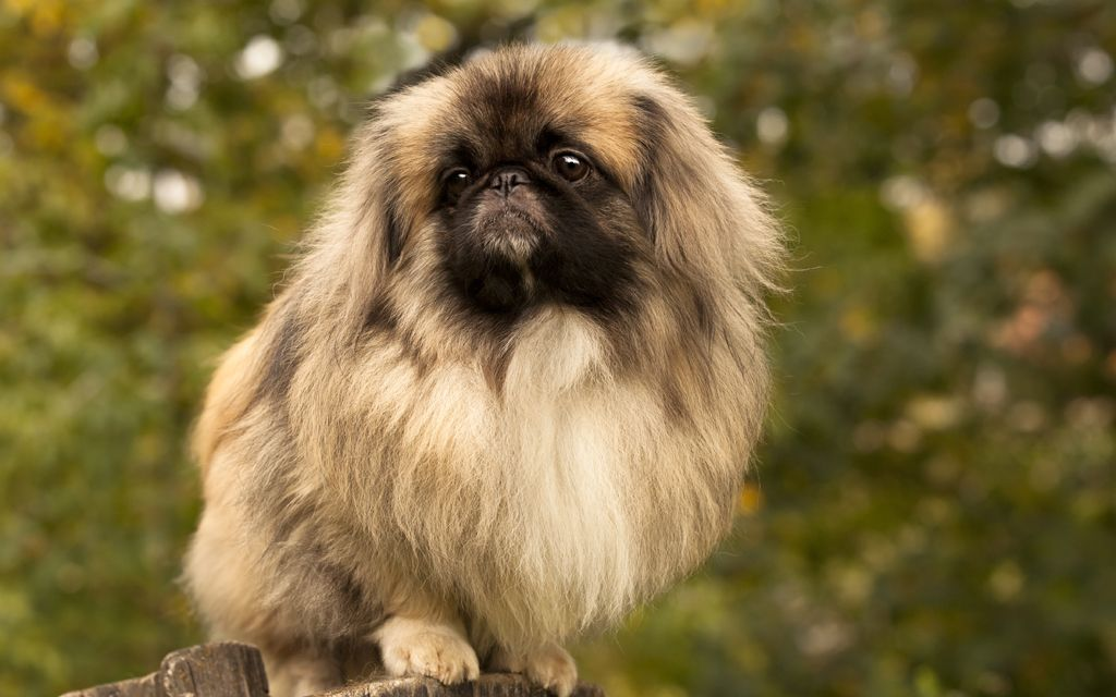 pekingese fawn picture