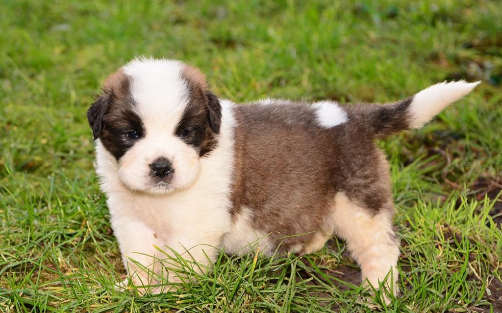 saint bernard puppy picture
