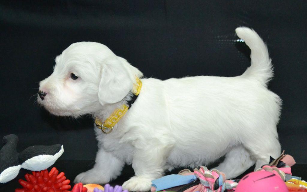 Sealyham Terrier Puppies Breed information & Puppies for Sale