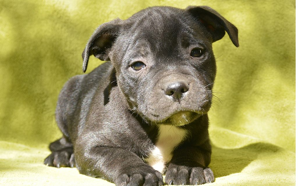 staffordshire bull terrier black puppy picture