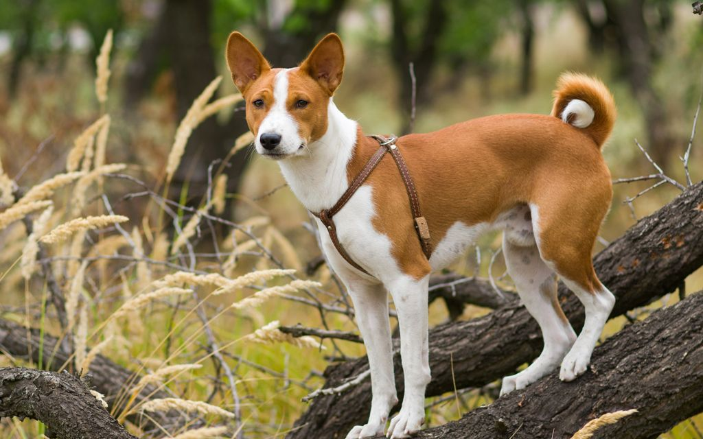 basenji chestnut red picture