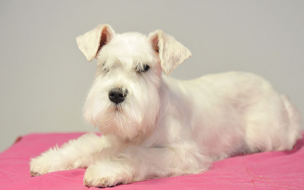 miniature schnauzer white picture
