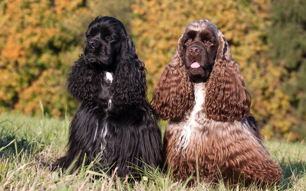 american cocker spaniel black brown picture