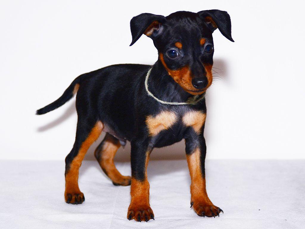 miniature pinscher black&tan puppy