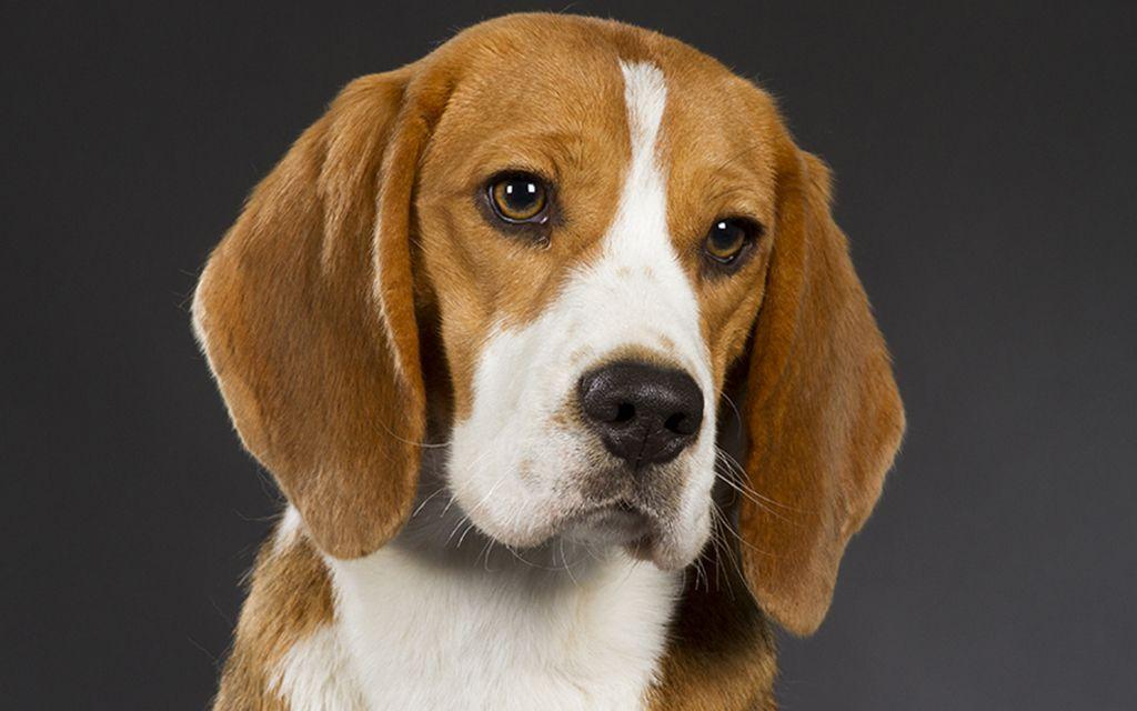 beagle classic tri picture