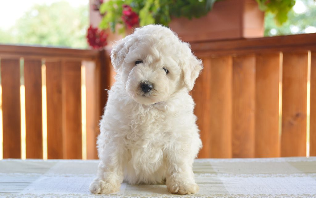 puli white puppy picture