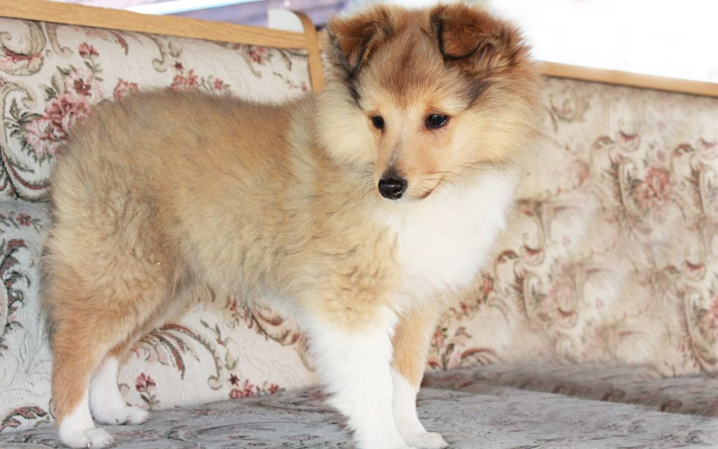 shetland sheepdog sable puppy picture
