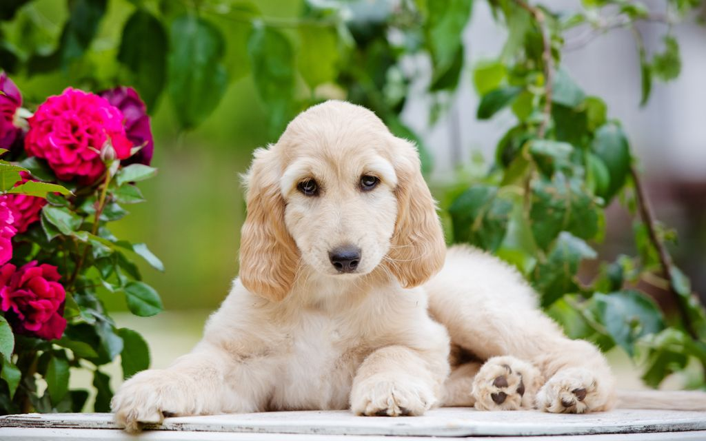 afghan hound puppy cream picture