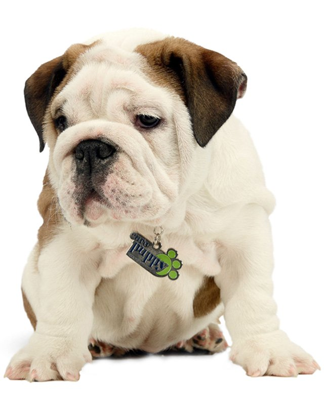White with Marking English Bulldog Puppy picture