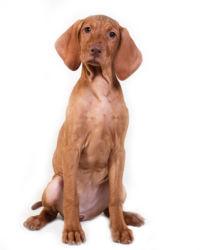 red vizsla puppy picture