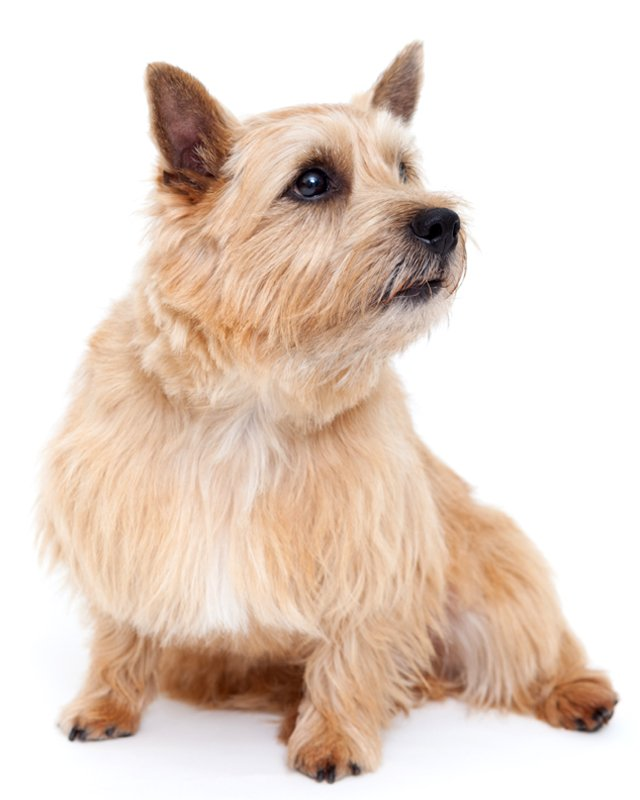 norwich terrier red picture