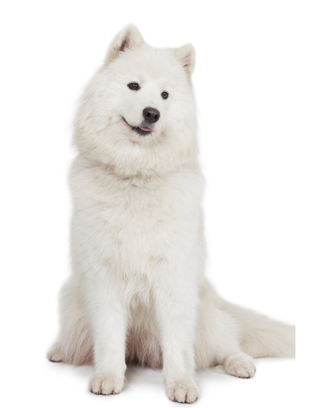 Samoyed picture