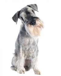 schnauzer pepper and salt image