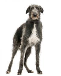 scottish deerhound grey picture