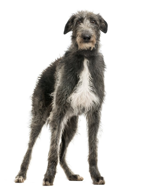 scottish deerhound grey picture