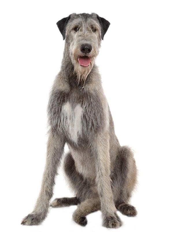 Purebred Irish Wolfhound Puppies For