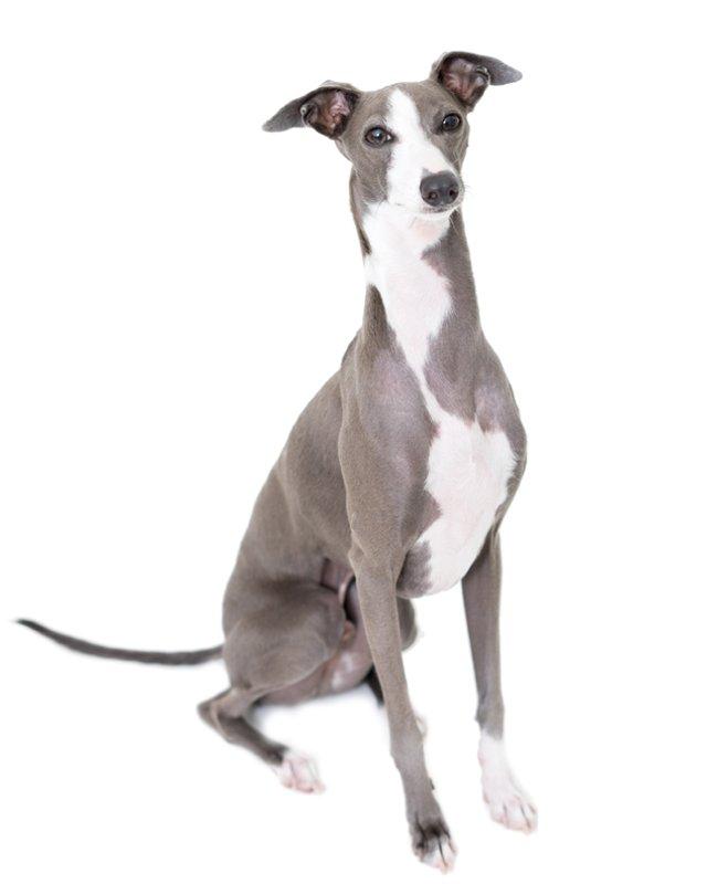 Italian Greyhound picture