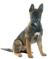 Belgian Sheepdog picture