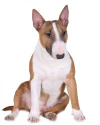 Miniature Bullterrier picture