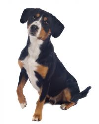 Greater Swiss Mountain Dog image