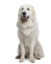 Great Pyrenees image