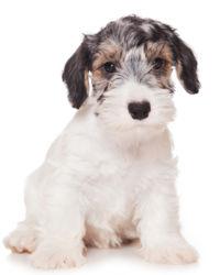 Sealyham Terrier image