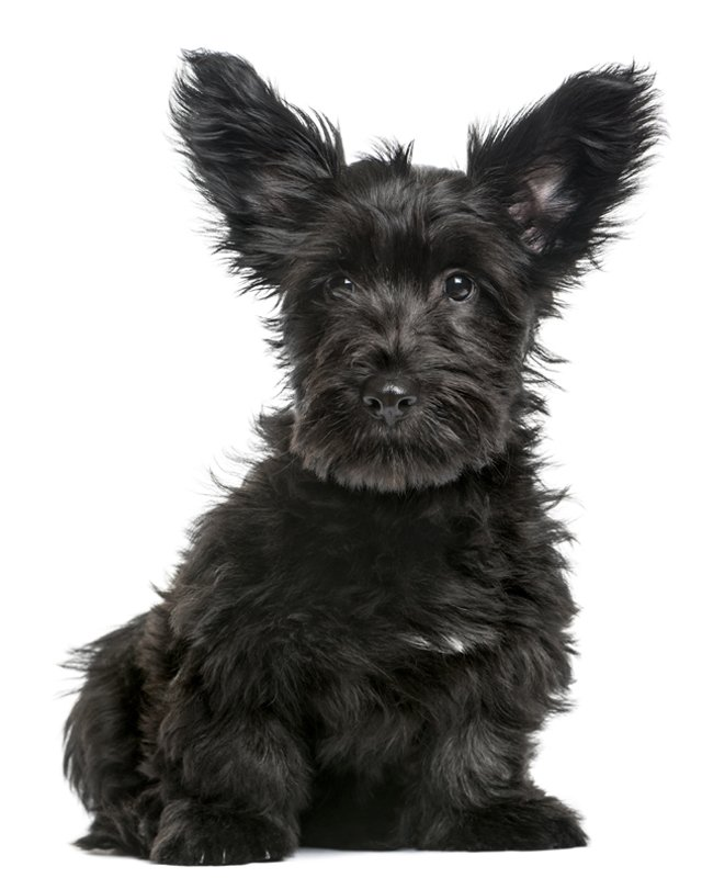Skye Terrier image
